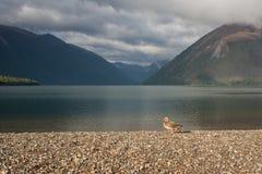 Female mallard basking at lake Rotoiti. Picture of female mallard basking at lake Rotoiti, New Zealand Royalty Free Stock Photography
