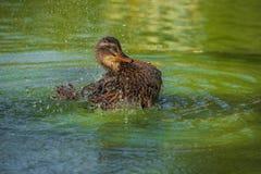 Female mallard bathing. A female mallard bathing in a pond Royalty Free Stock Images