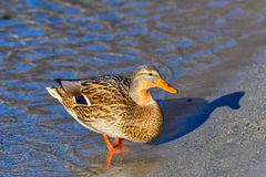 Female mallard on the beach Stock Photo