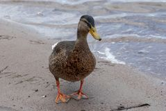 Female mallard at the beach. In summer Stock Image