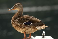 Female mallard on a boat. Female mallard duck ( anas platyrhynchos ) standing on a boat Stock Images