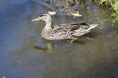 Female mallard with brown feathers swimming on small pond in sunlight. Water reflections Royalty Free Stock Photo