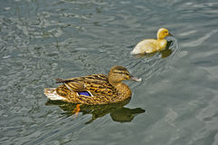Female Mallard with chick Royalty Free Stock Photos