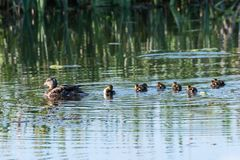 Female Mallard with chicks. Female Mallard, Anas Platyrhynchos, swimming with her chicks in a pond Royalty Free Stock Photos