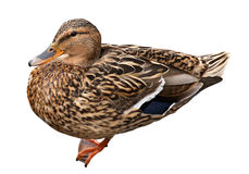 Female Mallard with clipping path, standing in front of isolated on white background. Female Mallard with clipping path, standing in front of white background Stock Photos