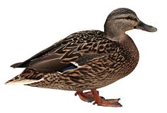 Female Mallard with clipping path. Standing in front of white background Royalty Free Stock Photos