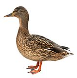 Female Mallard with clipping path, standing in. Front of a white background Stock Images