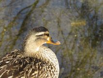Female Mallard close-up Stock Image