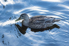 Female Mallard Royalty Free Stock Photography
