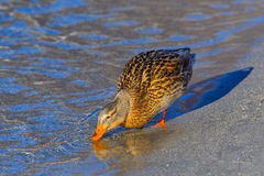 Female mallard drinks Royalty Free Stock Image