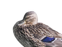 Female mallard duck – isolated. Female mallard duck –  isolated, white background Royalty Free Stock Image