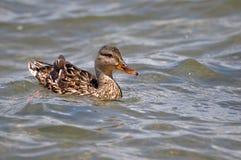 Female mallard duck. Stock Photos