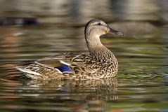 Female mallard duck. Female brown mallard duck. Close up with winter sunlight on wet feathers Stock Image