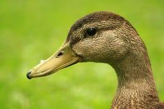Female Mallard Duck. Closeup of the female Mallard duck Royalty Free Stock Photos