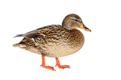Female Mallard Duck. Isolated on white background Royalty Free Stock Photos