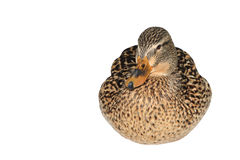 Female Mallard Duck Stock Photography
