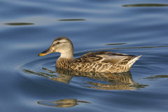 Free Female Mallard Duck Stock Images - 21117824