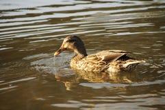 Female mallard duck Royalty Free Stock Image