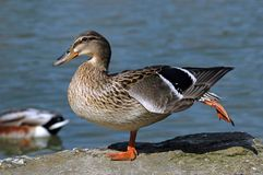Female mallard duck. On one feet Stock Photo