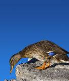 Female Mallard Duck. Of stone and blue sky backgroundrn Royalty Free Stock Photography