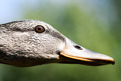 Female of the Mallard Duck Royalty Free Stock Photos