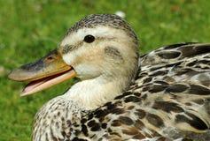Female Mallard Duck. Sitting Female Mallard Duck with beek open Royalty Free Stock Image