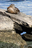 Female Mallard Duck. A female mallard duck rests on a rock to soak up the morning sunshine Royalty Free Stock Photos