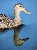 Female mallard duck. Closeup of a female mallard duck on still water with a clear reflection Stock Photography
