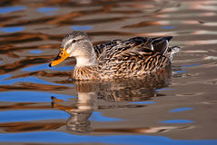 Female Mallard duck. Swimming in smooth looking water with reflections in blue and golden glow Royalty Free Stock Photography