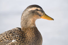 Female Mallard Duck. Profile in December on a northern lake Stock Images