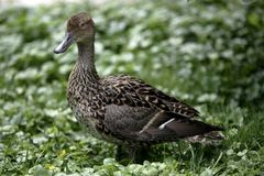 Female Mallard duck. Female or hen Mallard duck outdoors with green background Stock Photo