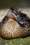 Female Mallard Duck. A portrait of a female mallard duck Royalty Free Stock Photography