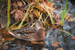 Female mallard duck Anas platyrhynchos on an autumn day. In Poland Royalty Free Stock Photography