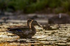 Female mallard duck  anas platyrhynchos  in beautiful evening light.  Royalty Free Stock Image