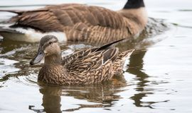 Female Mallard duck  (Anas platyrhynchos).  Canada Goose swims just behind on the Ottawa River. Female Mallard duck. (Anas platyrhynchos) swim past the camera Royalty Free Stock Photos