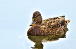 Female mallard duck (anas platyrhynchos). Close up with reflection in water - waterfowl bird Stock Photos