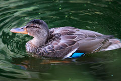 Female mallard duck Anas platyrhynchos close up. Waterfowl bir. D Royalty Free Stock Image