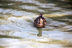 Female Mallard Duck, Anas platyrhynchos. In Elizabeth Lake, Fremont, with brown speckled plumage Stock Images