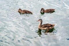 Female mallard duck, anas platyrhynchos. Female mallard duck, anas platyrhynchos on the lake Stock Image