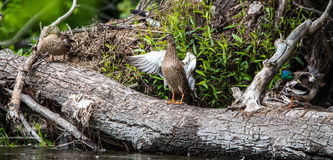 Female Mallard duck. (Anas platyrhynchos) flapping her wings, standing up on a log. Female Mallard duck. (Anas platyrhynchos) Stands up on a log and flaps her Royalty Free Stock Photography