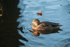 Female mallard duck Anas platyrhynchos floating on water surface on an autumn day. In Poland Stock Photos