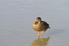 Female mallard duck (Anas platyrhynchos)  on ice. Female mallard duck (Anas platyrhynchos) walking  across a frozen lake Royalty Free Stock Photography