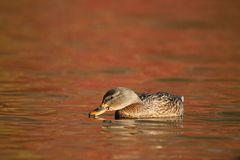Mallard Duck swimming on orange water in Fall at Dusk stock images