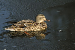 A female Mallard Duck Anas platyrhynchos sitting in a frozen lake. In winter Royalty Free Stock Photography