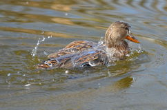 Mallard Duck. A female mallard duck, Anas platyrhynchos, splashing Stock Photography