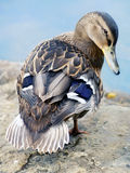 Female mallard duck Royalty Free Stock Images