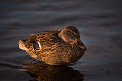 Female mallard duck Anas platyrhynchos at sunset. Closeup shot of female mallard duck in the pond lit by the sun Royalty Free Stock Photos