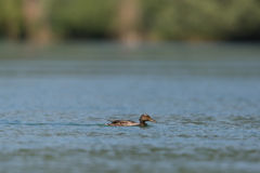 Female mallard duck anas platyrhynchos swimming Stock Photo