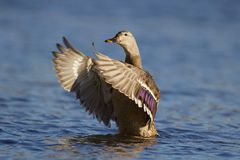 Hen Mallard Duck Wing Flap. A female mallard duck Anas platyrhynchos swimming on a pond and flapping her wings Stock Image