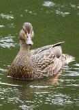Mallard Duck Waterfowl. A female Mallard duck swimming the shoreline Stock Images